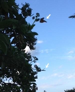 butterfly2300yajirusi.jpg