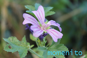 m-common mallow614