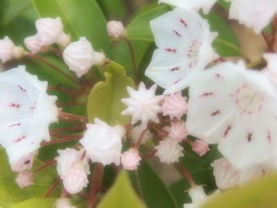 蕾がコンペイトウのような「カルミア」。花も可愛いけど蕾が可愛い♪