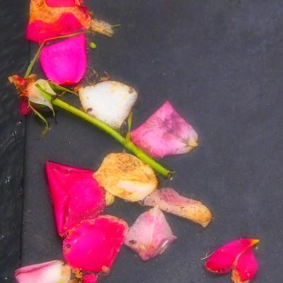水の流れる石段で、散ってもなお色を残す薔薇。