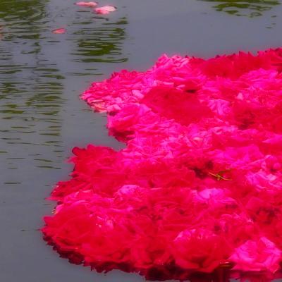 水に浮かべた赤とピンクの薔薇。薔薇だからこそ、様になる!