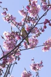 メジロも春を待ち遠しく
