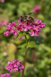 ソバの花にミツバチ
