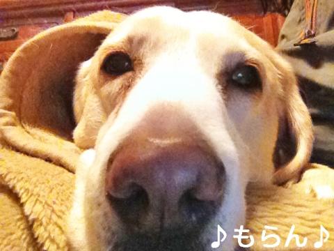 140114 犬は毛布で丸くなる-1