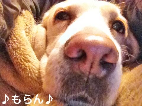 140114 犬は毛布で丸くなる-2