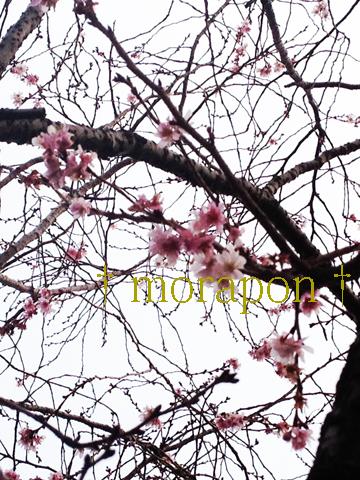 140203 桜咲く節分-3