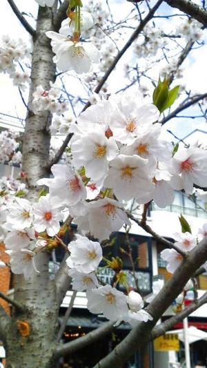 さくら 鎌倉1