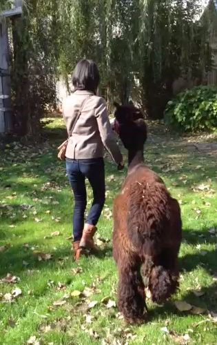 お散歩 with alpaca
