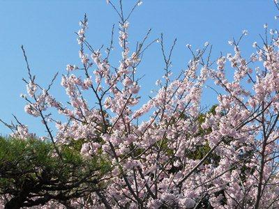 明石公園桜