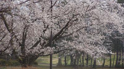 桜2 DSCN7539