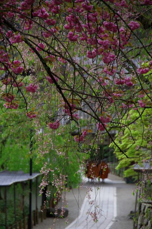 長谷寺 修行僧と桜