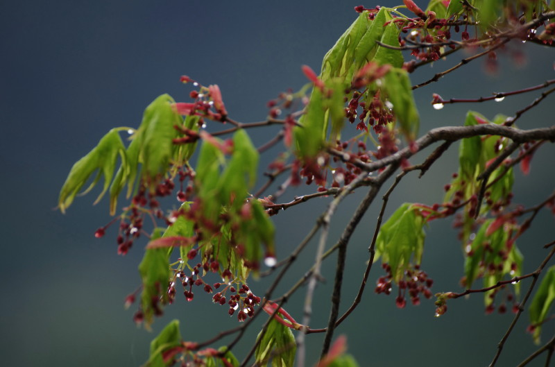 長谷寺 モミジの花