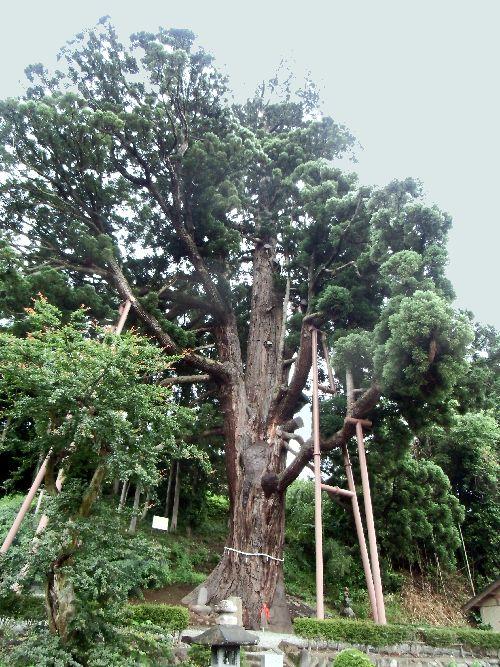 巨大弥陀の杉