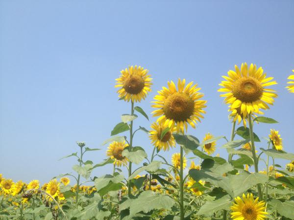 himawari4.jpg
