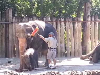 ゾウさんが「ほうき」で自分のオデコの掃除を始めた件