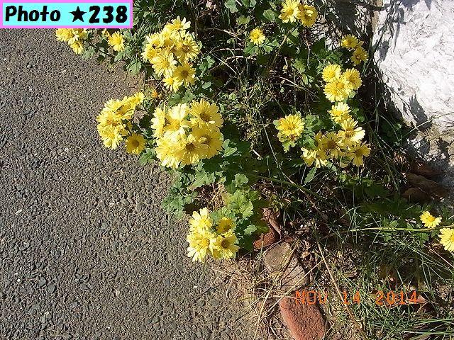 道端の野菊