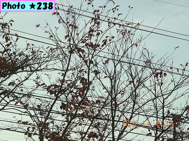 桜の枯れ葉