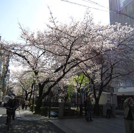 木屋町桜並木