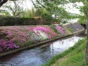 渋田川の芝桜