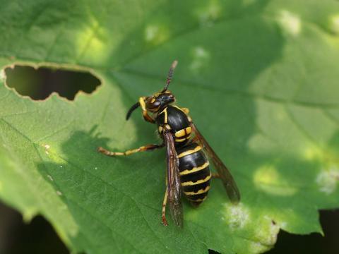 キオビクロスズメバチ