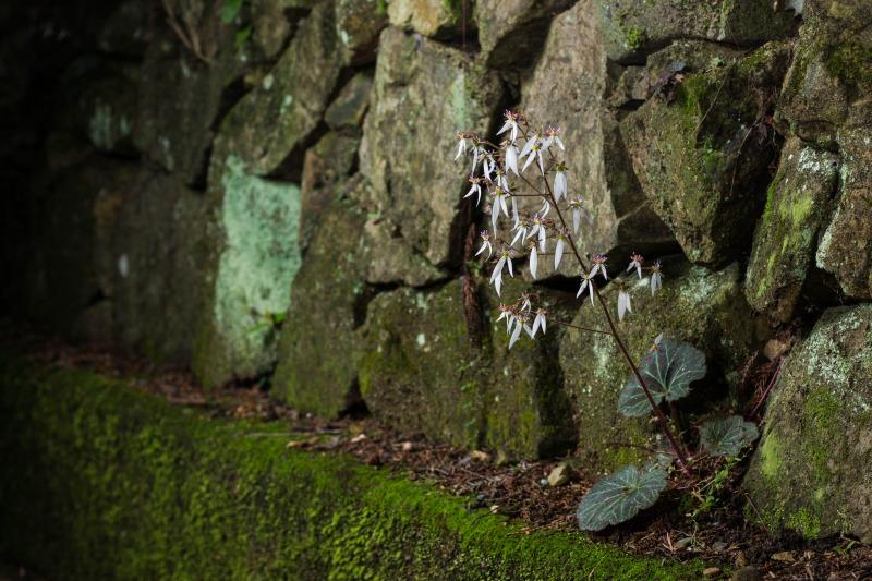 ユキノシタ Saxifraga stolonifera