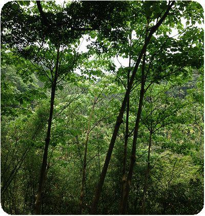 油桐花森の中