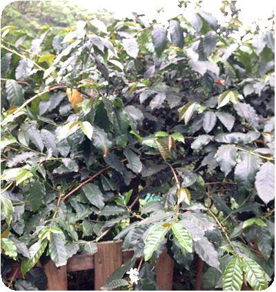 油桐花コーヒーの木