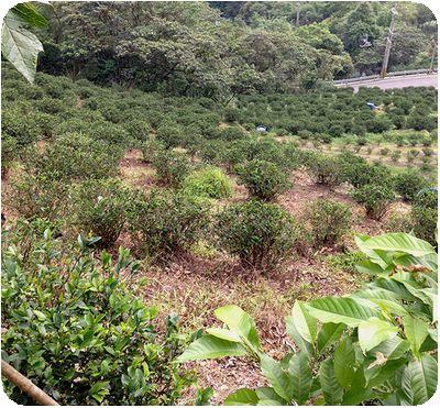 油桐花茶畑