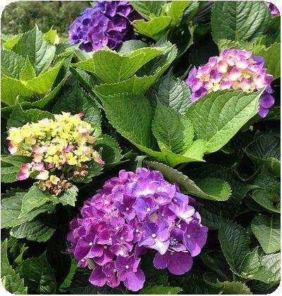 竹子湖アジサイ紫