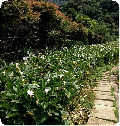 竹子湖カラー