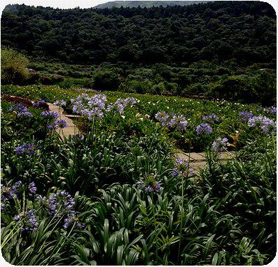 竹子湖愛情花