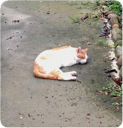 台北植物園爆睡猫
