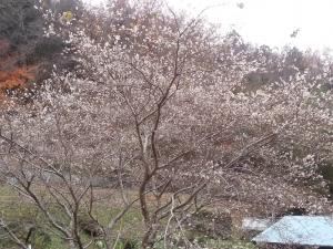 131210四季桜