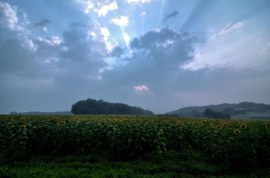 朝のひまわりの丘s