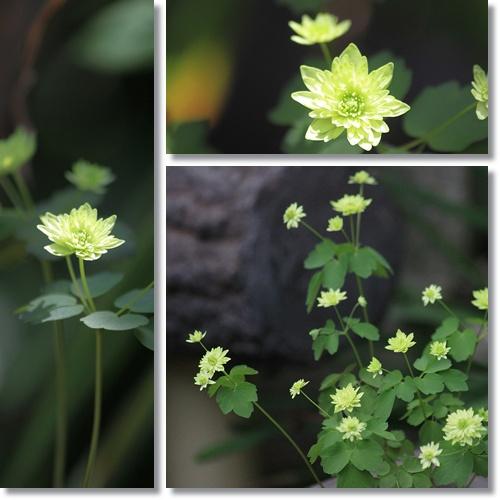 緑八重バイカカラマツ
