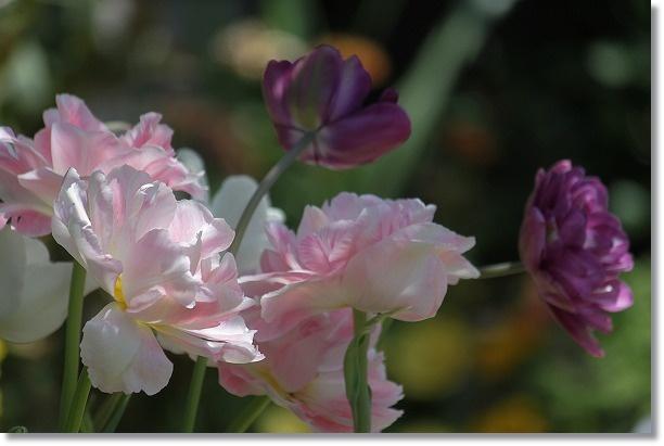 八重咲きチューリップ 1