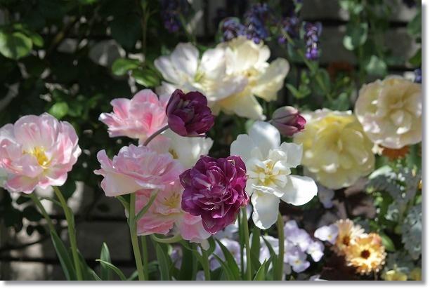 八重咲きチューリップ 2