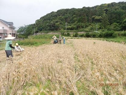 6・5麦刈り