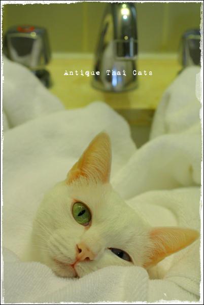 カオマニー オッドアイ 猫 khaomanee oddeyes cat แมว ไทย ขาวมณี アンティークタイキャット