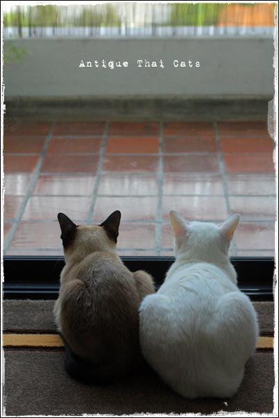 多頭飼いタイ猫カオマニーシャム猫KhaomaneeSiamesecatแมวไทย