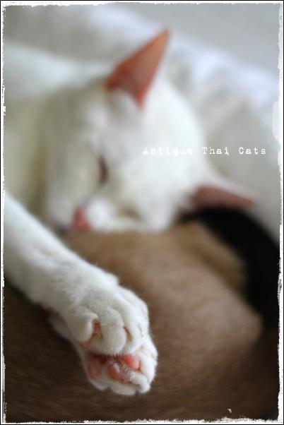 多頭飼い タイ猫 カオマニー シャム猫 Khaomanee Siamese cat แมวไทย