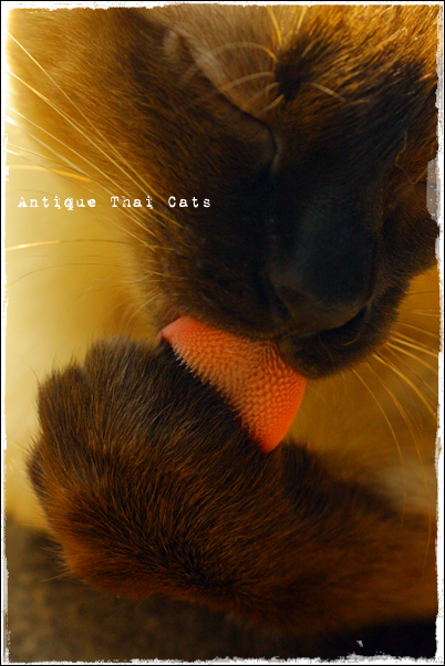 シャム猫 原種 猫 Siamese cat Thai แมว ไทย วิเชียรมาศ Antique Thai Cats