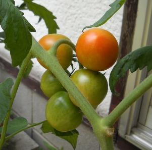 トマト13-5