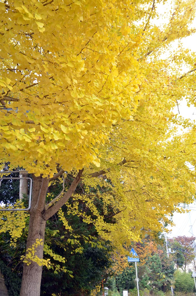 D70_8787黄色の秋