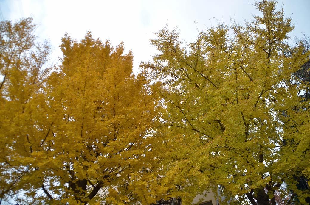 D70_8788黄色の秋
