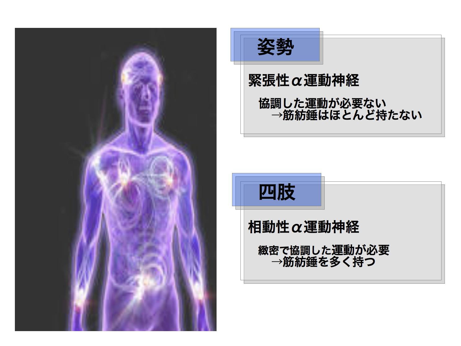 筋の生理学