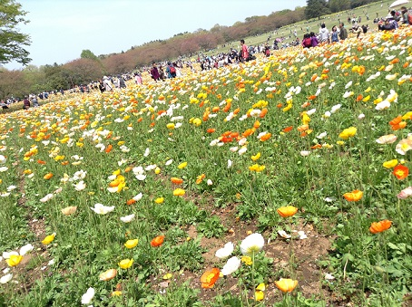 昭和記念公園20130414ポピー