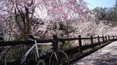 湯船公園桜