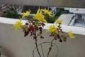 初冬に咲く菊の花