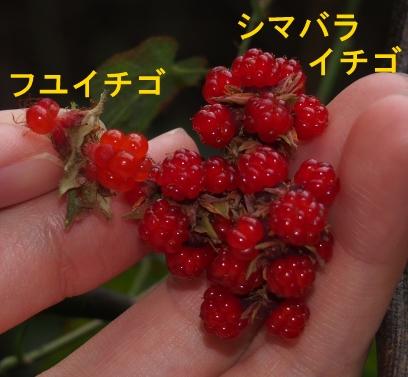 2シマバライチゴ2